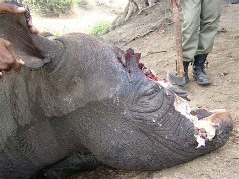 Poachers Drive Rhino to Extinction in Mozambique