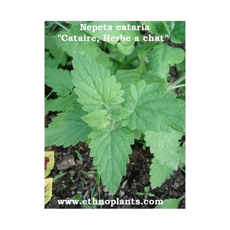 Herbe aux chats plant de cataire (Nepeta cataria)
