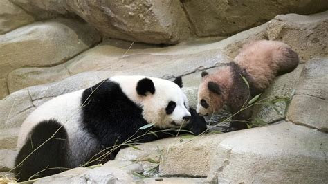 France's playful baby panda makes 1st public appearance   WJLA