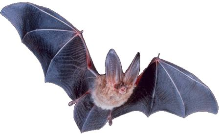 Bats sophistication in miniature - creation