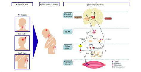   Neural circuits of pain and opioid site of action